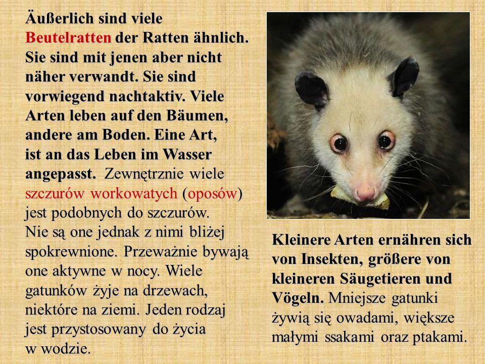 Äußerlich sind viele Beutelratten der Ratten ähnlich