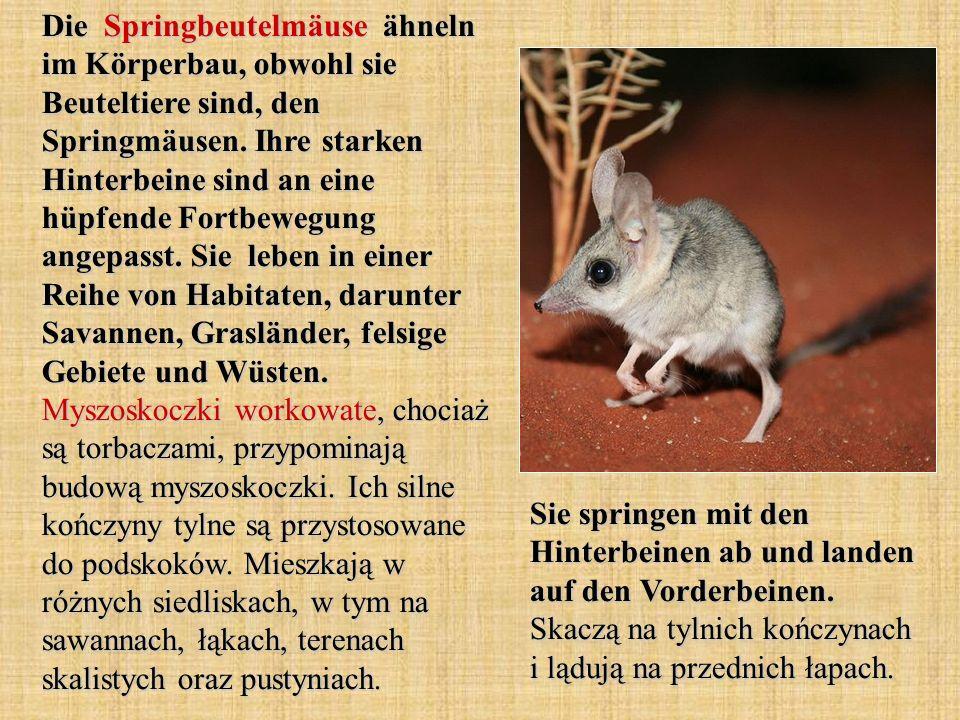 Die Springbeutelmäuse ähneln im Körperbau, obwohl sie Beuteltiere sind, den Springmäusen. Ihre starken Hinterbeine sind an eine hüpfende Fortbewegung angepasst. Sie leben in einer Reihe von Habitaten, darunter Savannen, Grasländer, felsige Gebiete und Wüsten. Myszoskoczki workowate, chociaż są torbaczami, przypominają budową myszoskoczki. Ich silne kończyny tylne są przystosowane do podskoków. Mieszkają w różnych siedliskach, w tym na sawannach, łąkach, terenach skalistych oraz pustyniach.