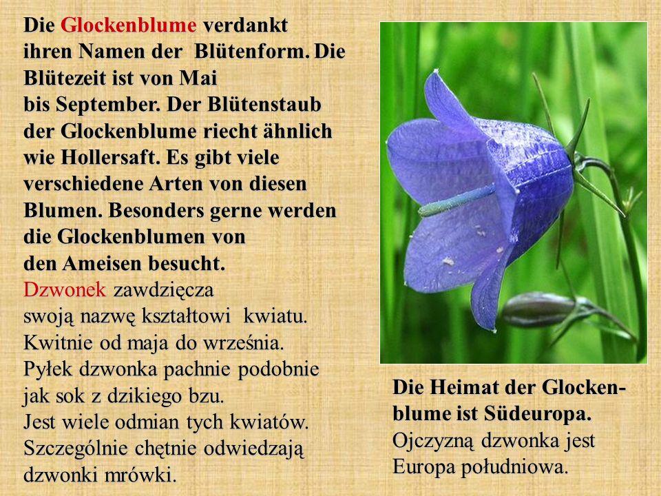Die Glockenblume verdankt ihren Namen der Blütenform
