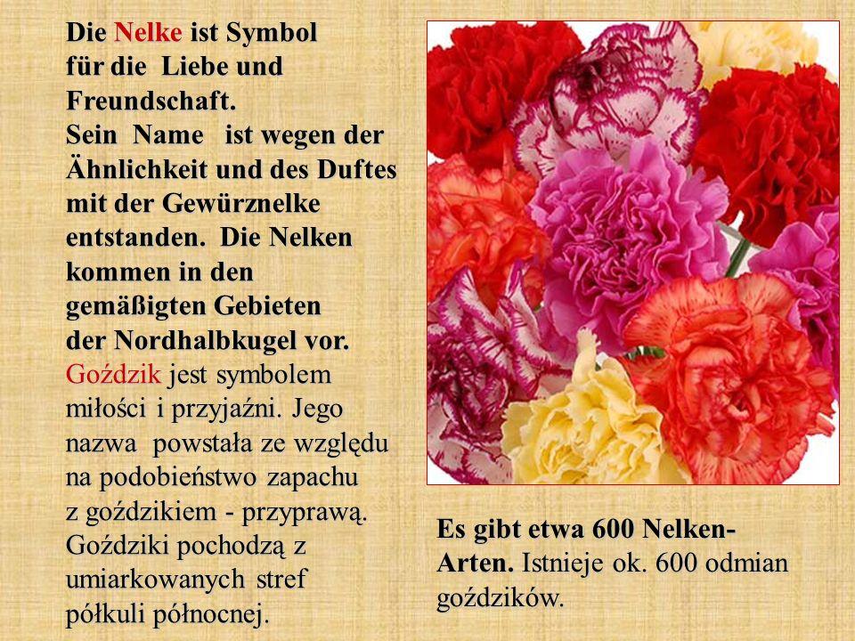 Die Nelke ist Symbol für die Liebe und Freundschaft