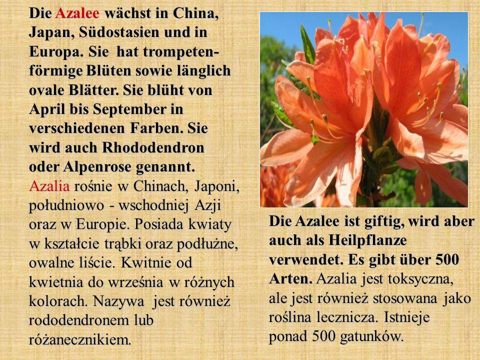 Die Azalee wächst in China, Japan, Südostasien und in Europa