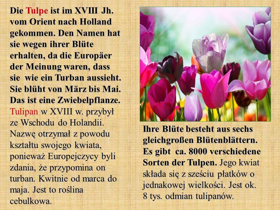 Die Tulpe ist im XVIII Jh. vom Orient nach Holland gekommen