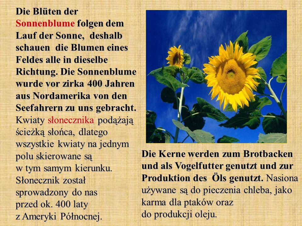 Die Blüten der Sonnenblume folgen dem Lauf der Sonne, deshalb schauen die Blumen eines Feldes alle in dieselbe Richtung. Die Sonnenblume wurde vor zirka 400 Jahren aus Nordamerika von den Seefahrern zu uns gebracht. Kwiaty słonecznika podążają ścieżką słońca, dlatego wszystkie kwiaty na jednym polu skierowane są w tym samym kierunku. Słonecznik został sprowadzony do nas przed ok. 400 laty z Ameryki Północnej.