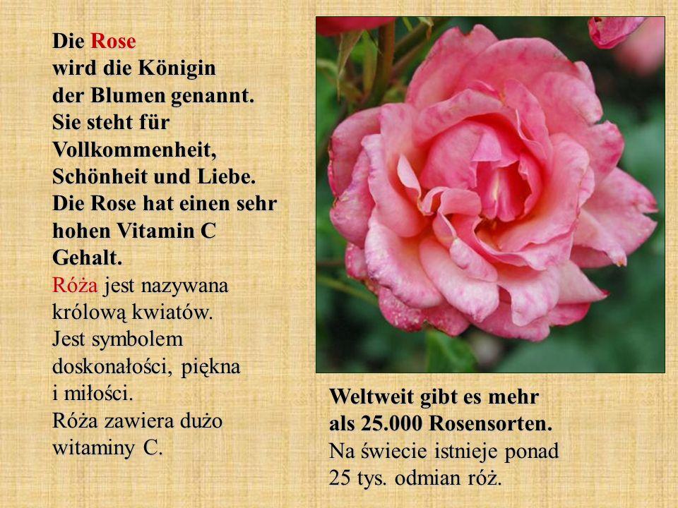 Die Rose wird die Königin der Blumen genannt