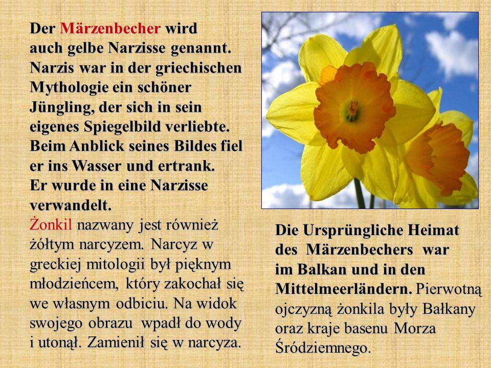 Der Märzenbecher wird auch gelbe Narzisse genannt