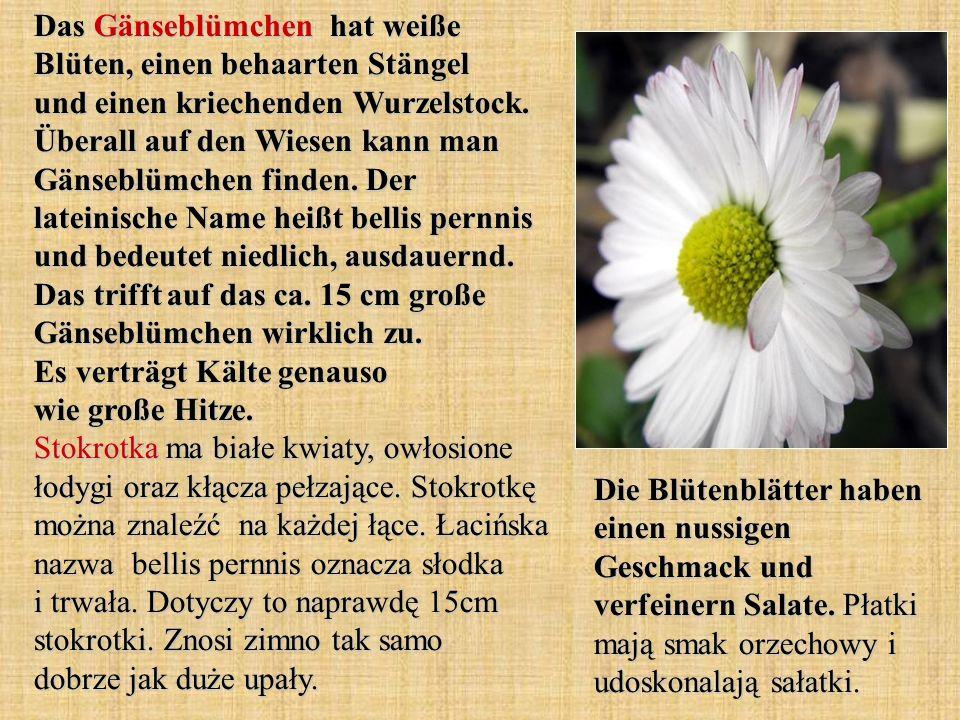 Das Gänseblümchen hat weiße Blüten, einen behaarten Stängel und einen kriechenden Wurzelstock. Überall auf den Wiesen kann man Gänseblümchen finden. Der lateinische Name heißt bellis pernnis und bedeutet niedlich, ausdauernd. Das trifft auf das ca. 15 cm große Gänseblümchen wirklich zu. Es verträgt Kälte genauso wie große Hitze. Stokrotka ma białe kwiaty, owłosione łodygi oraz kłącza pełzające. Stokrotkę można znaleźć na każdej łące. Łacińska nazwa bellis pernnis oznacza słodka i trwała. Dotyczy to naprawdę 15cm stokrotki. Znosi zimno tak samo dobrze jak duże upały.