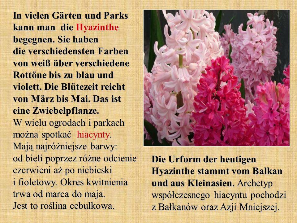 In vielen Gärten und Parks kann man die Hyazinthe begegnen