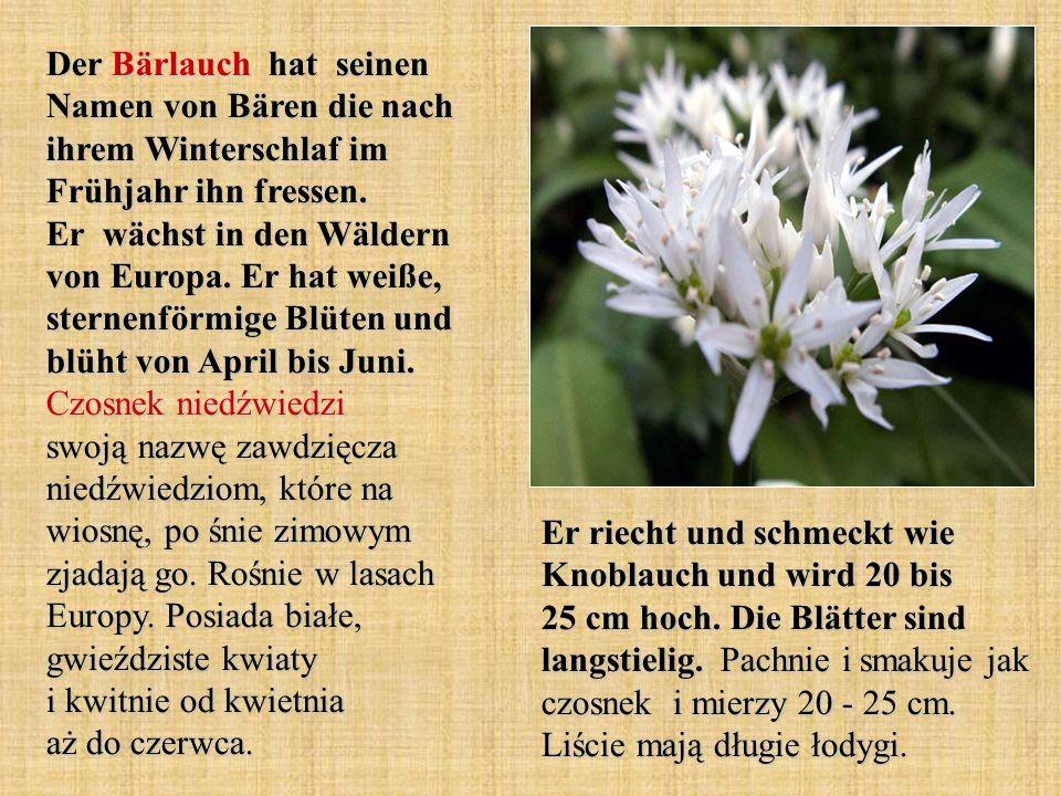 Der Bärlauch hat seinen Namen von Bären die nach ihrem Winterschlaf im Frühjahr ihn fressen. Er wächst in den Wäldern von Europa. Er hat weiße, sternenförmige Blüten und blüht von April bis Juni. Czosnek niedźwiedzi swoją nazwę zawdzięcza niedźwiedziom, które na wiosnę, po śnie zimowym zjadają go. Rośnie w lasach Europy. Posiada białe, gwieździste kwiaty i kwitnie od kwietnia aż do czerwca.