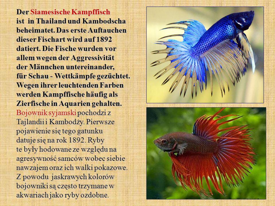 Der Siamesische Kampffisch ist in Thailand und Kambodscha beheimatet