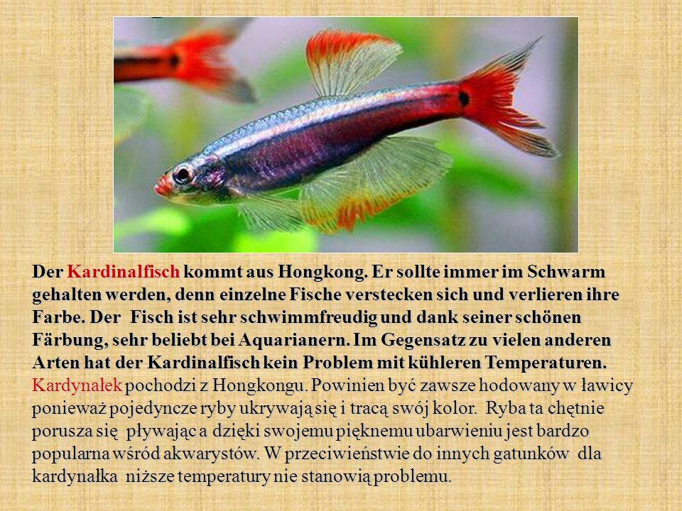 Der Kardinalfisch kommt aus Hongkong