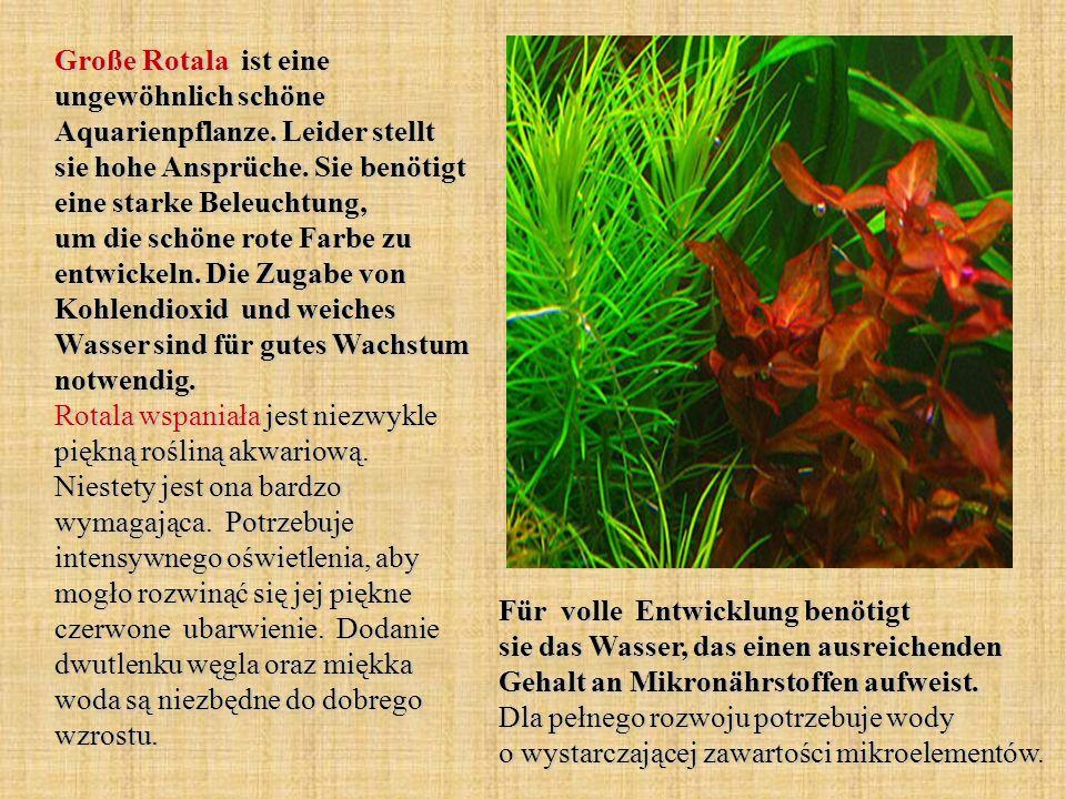 Große Rotala ist eine ungewöhnlich schöne Aquarienpflanze