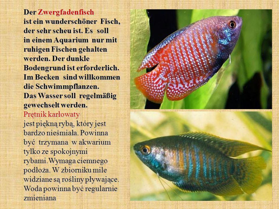 Der Zwergfadenfisch ist ein wunderschöner Fisch, der sehr scheu ist