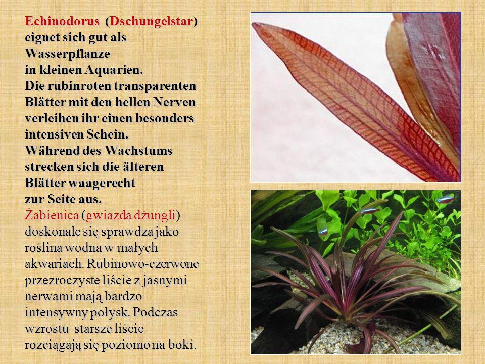 Echinodorus (Dschungelstar) eignet sich gut als Wasserpflanze in kleinen Aquarien.