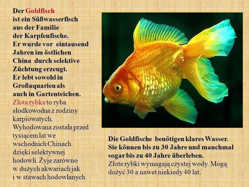Der Goldfisch ist ein Süßwasserfisch aus der Familie der Karpfenfische