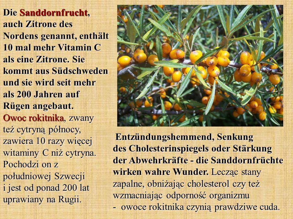 Die Sanddornfrucht, auch Zitrone des Nordens genannt, enthält 10 mal mehr Vitamin C als eine Zitrone. Sie kommt aus Südschweden und sie wird seit mehr als 200 Jahren auf Rügen angebaut. Owoc rokitnika, zwany też cytryną północy, zawiera 10 razy więcej witaminy C niż cytryna. Pochodzi on z południowej Szwecji i jest od ponad 200 lat uprawiany na Rugii.