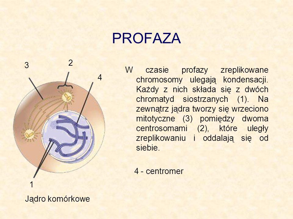 PROFAZA 2. 3.
