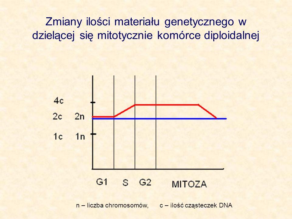 Zmiany ilości materiału genetycznego w dzielącej się mitotycznie komórce diploidalnej
