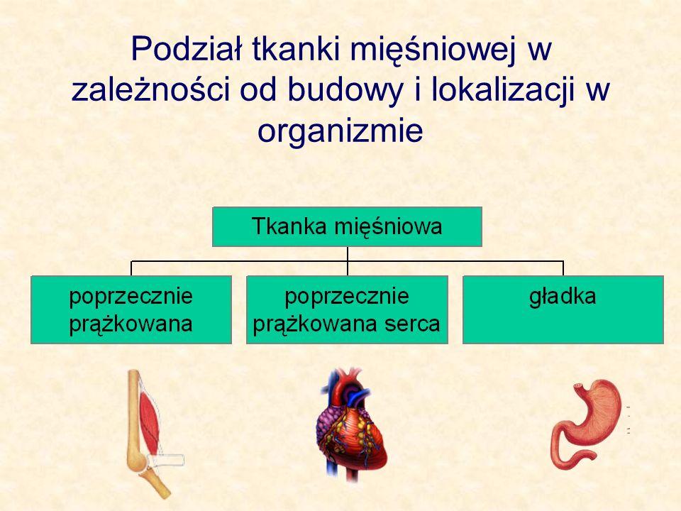 Podział tkanki mięśniowej w zależności od budowy i lokalizacji w organizmie