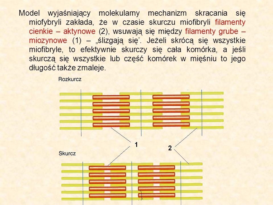 """Model wyjaśniający molekularny mechanizm skracania się miofybryli zakłada, że w czasie skurczu miofibryli filamenty cienkie – aktynowe (2), wsuwają się między filamenty grube – miozynowe (1) – """"ślizgają się'."""