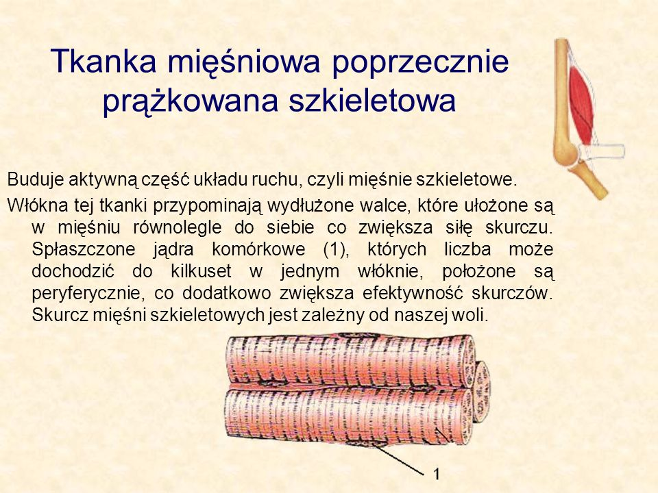Tkanka mięśniowa poprzecznie prążkowana szkieletowa
