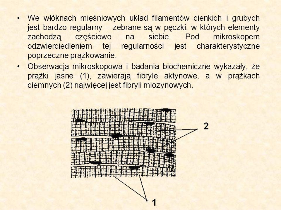 We włóknach mięśniowych układ filamentów cienkich i grubych jest bardzo regularny – zebrane są w pęczki, w których elementy zachodzą częściowo na siebie. Pod mikroskopem odzwierciedleniem tej regularności jest charakterystyczne poprzeczne prążkowanie.
