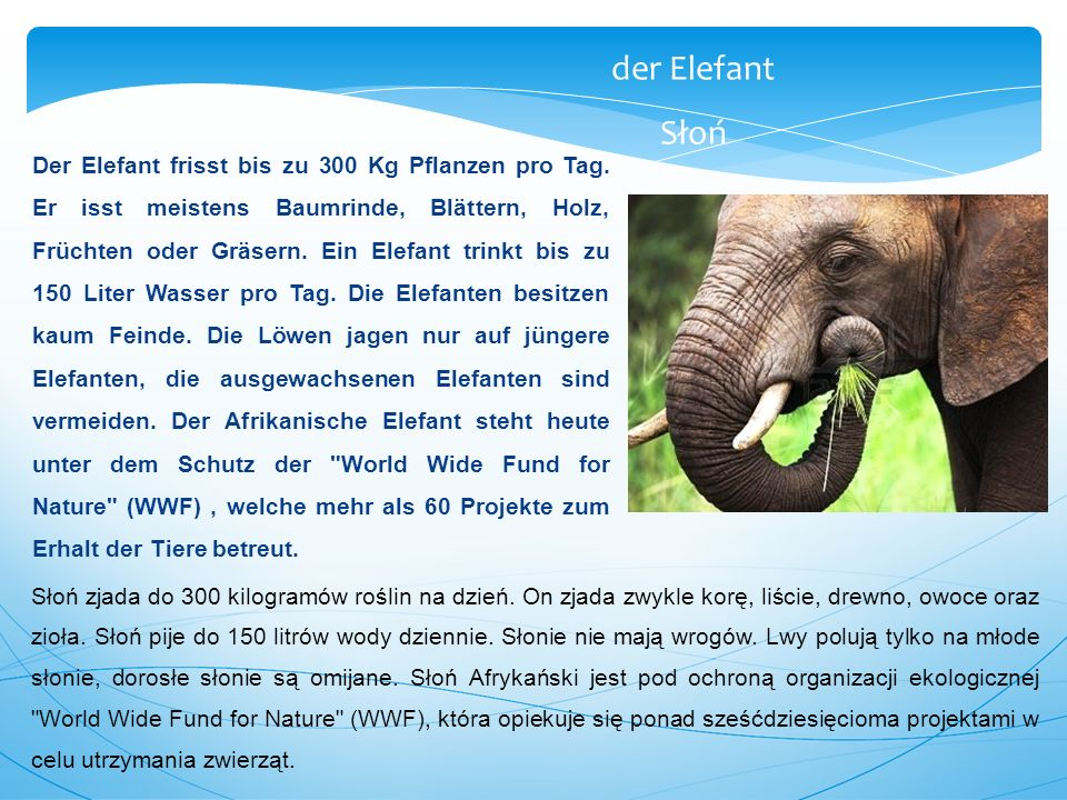 der Elefant Słoń