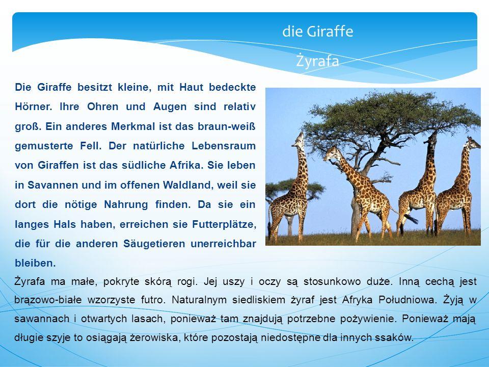 die Giraffe Żyrafa.