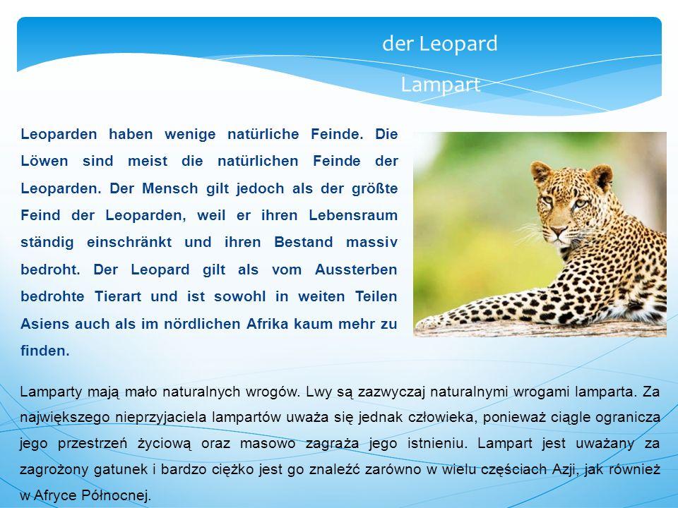 der Leopard Lampart.