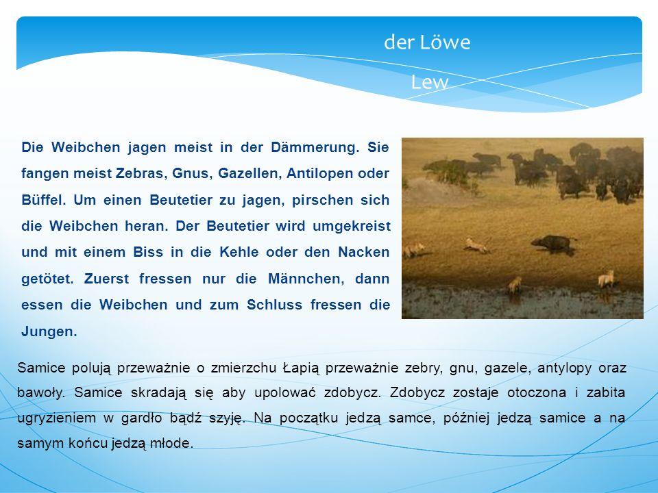 der Löwe Lew