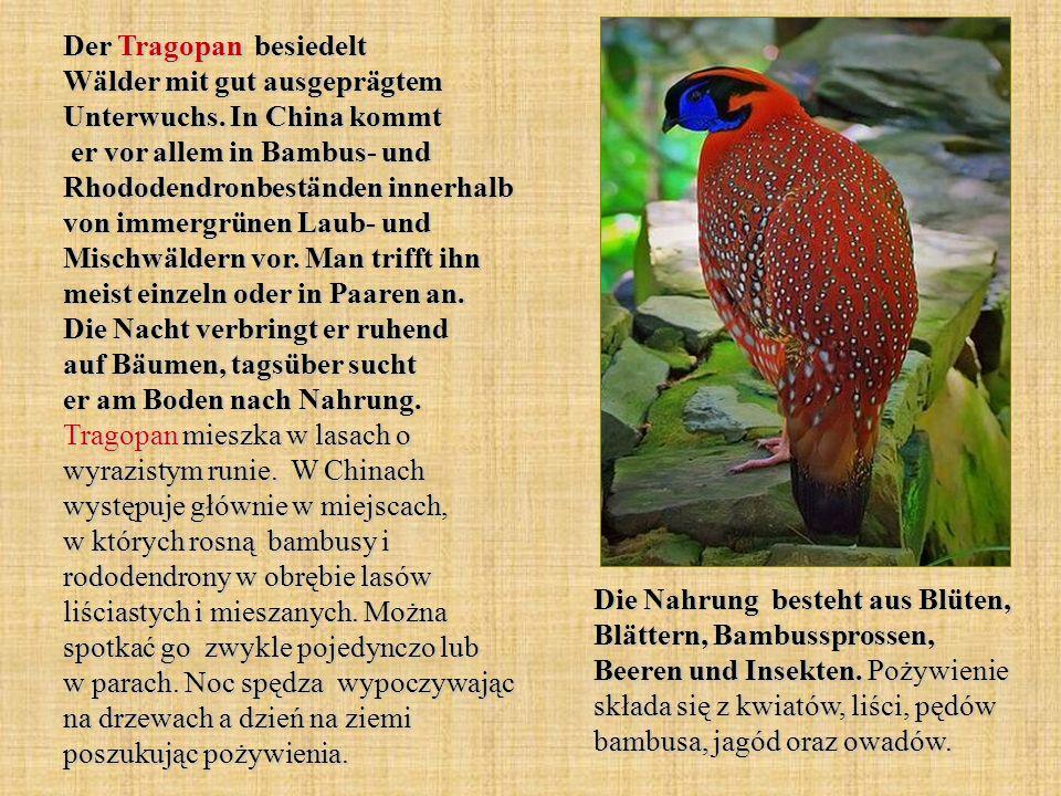 Der Tragopan besiedelt Wälder mit gut ausgeprägtem Unterwuchs