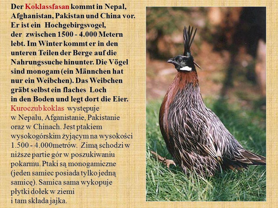 Der Koklassfasan kommt in Nepal, Afghanistan, Pakistan und China vor