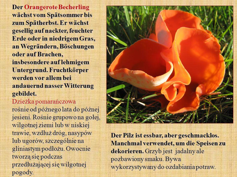 Der Orangerote Becherling wächst vom Spätsommer bis zum Spätherbst