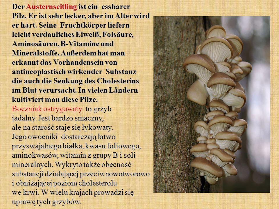 Der Austernseitling ist ein essbarer Pilz