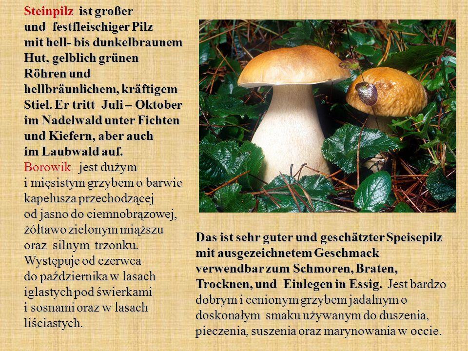 Steinpilz ist großer und festfleischiger Pilz mit hell- bis dunkelbraunem Hut, gelblich grünen Röhren und hellbräunlichem, kräftigem Stiel. Er tritt Juli – Oktober im Nadelwald unter Fichten und Kiefern, aber auch im Laubwald auf. Borowik jest dużym i mięsistym grzybem o barwie kapelusza przechodzącej od jasno do ciemnobrązowej, żółtawo zielonym miąższu oraz silnym trzonku. Występuje od czerwca do października w lasach iglastych pod świerkami i sosnami oraz w lasach liściastych.