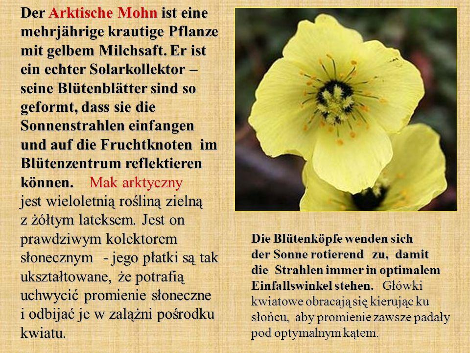 Der Arktische Mohn ist eine mehrjährige krautige Pflanze mit gelbem Milchsaft. Er ist ein echter Solarkollektor – seine Blütenblätter sind so geformt, dass sie die Sonnenstrahlen einfangen und auf die Fruchtknoten im Blütenzentrum reflektieren können. Mak arktyczny jest wieloletnią rośliną zielną z żółtym lateksem. Jest on prawdziwym kolektorem słonecznym - jego płatki są tak ukształtowane, że potrafią uchwycić promienie słoneczne i odbijać je w zalążni pośrodku kwiatu.