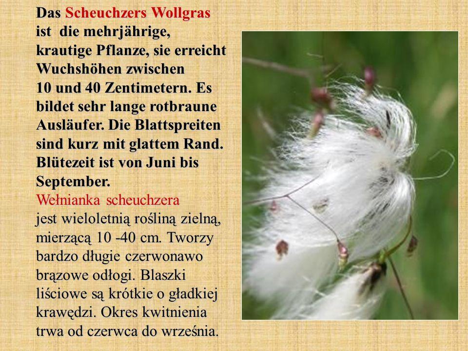 Das Scheuchzers Wollgras ist die mehrjährige, krautige Pflanze, sie erreicht Wuchshöhen zwischen 10 und 40 Zentimetern.