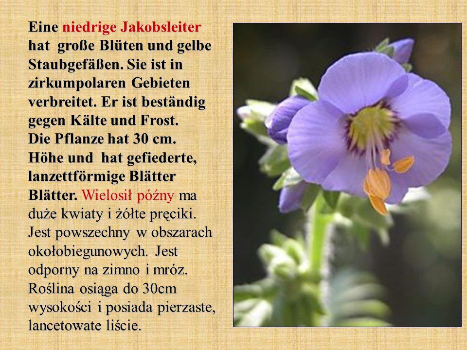 Eine niedrige Jakobsleiter hat große Blüten und gelbe Staubgefäßen