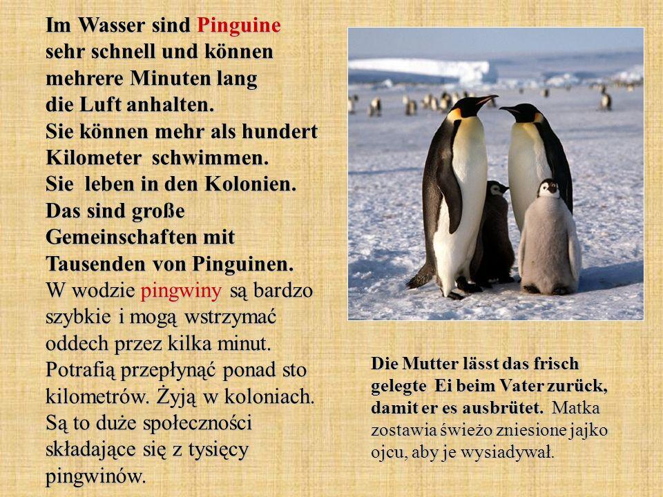 Im Wasser sind Pinguine sehr schnell und können mehrere Minuten lang die Luft anhalten. Sie können mehr als hundert Kilometer schwimmen. Sie leben in den Kolonien. Das sind große Gemeinschaften mit Tausenden von Pinguinen. W wodzie pingwiny są bardzo szybkie i mogą wstrzymać oddech przez kilka minut. Potrafią przepłynąć ponad sto kilometrów. Żyją w koloniach. Są to duże społeczności składające się z tysięcy pingwinów.