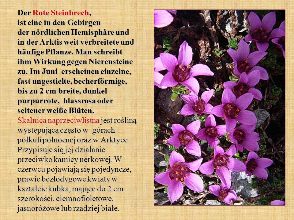 Der Rote Steinbrech, ist eine in den Gebirgen der nördlichen Hemisphäre und in der Arktis weit verbreitete und häufige Pflanze.
