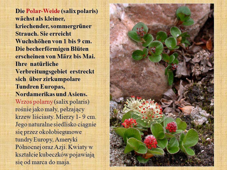 Die Polar-Weide (salix polaris) wächst als kleiner, kriechender, sommergrüner Strauch.