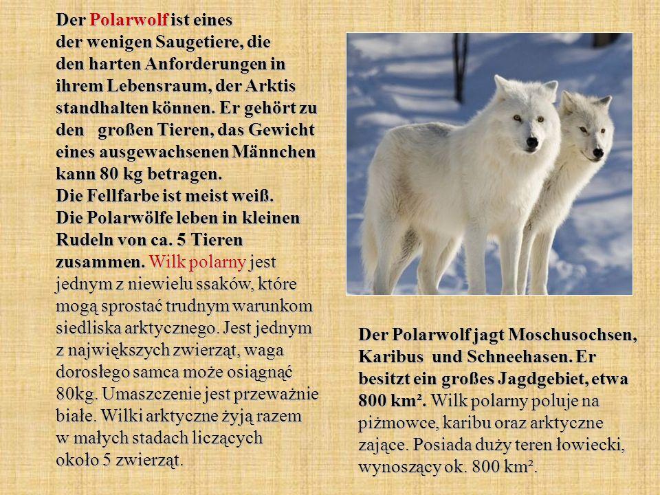 Der Polarwolf ist eines der wenigen Saugetiere, die den harten Anforderungen in ihrem Lebensraum, der Arktis standhalten können. Er gehört zu den großen Tieren, das Gewicht eines ausgewachsenen Männchen kann 80 kg betragen. Die Fellfarbe ist meist weiß. Die Polarwölfe leben in kleinen Rudeln von ca. 5 Tieren zusammen. Wilk polarny jest jednym z niewielu ssaków, które mogą sprostać trudnym warunkom siedliska arktycznego. Jest jednym z największych zwierząt, waga dorosłego samca może osiągnąć 80kg. Umaszczenie jest przeważnie białe. Wilki arktyczne żyją razem w małych stadach liczących około 5 zwierząt.