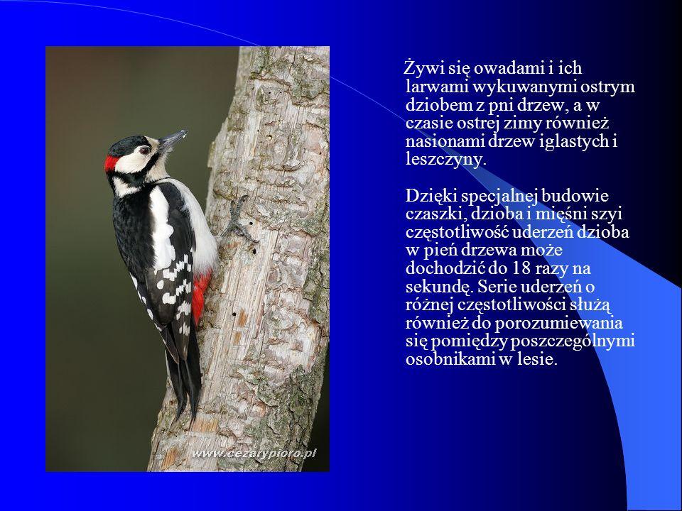 Żywi się owadami i ich larwami wykuwanymi ostrym dziobem z pni drzew, a w czasie ostrej zimy również nasionami drzew iglastych i leszczyny.