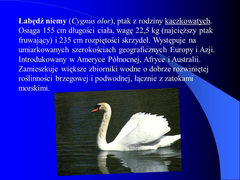 Łabędź niemy (Cygnus olor), ptak z rodziny kaczkowatych