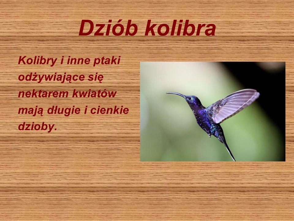 Dziób kolibra Kolibry i inne ptaki odżywiające się nektarem kwiatów