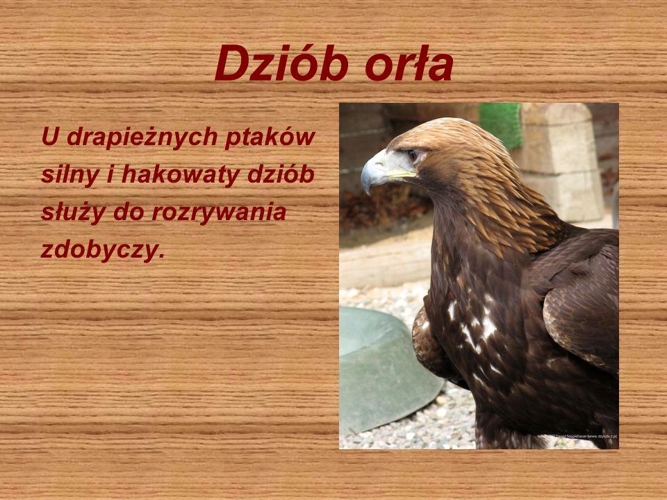 Dziób orła U drapieżnych ptaków silny i hakowaty dziób