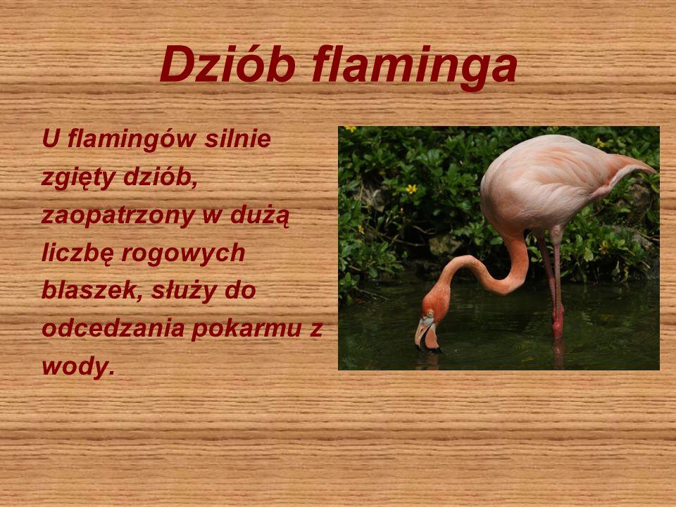 Dziób flaminga U flamingów silnie zgięty dziób, zaopatrzony w dużą