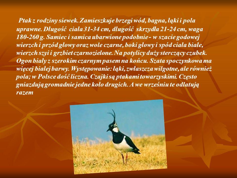 Ptak z rodziny siewek.Zamieszkuje brzegi wód, bagna, łąki i pola uprawne.