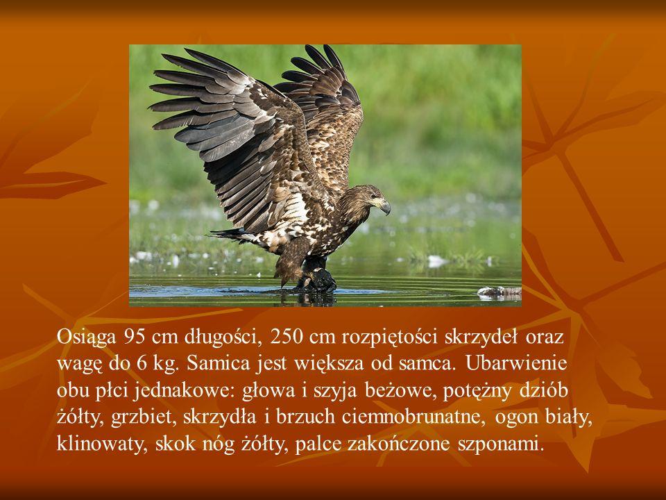 Osiąga 95 cm długości, 250 cm rozpiętości skrzydeł oraz wagę do 6 kg