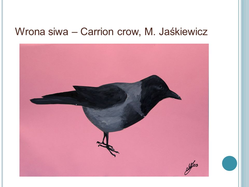 Wrona siwa – Carrion crow, M. Jaśkiewicz