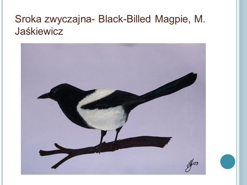 Sroka zwyczajna- Black-Billed Magpie, M. Jaśkiewicz